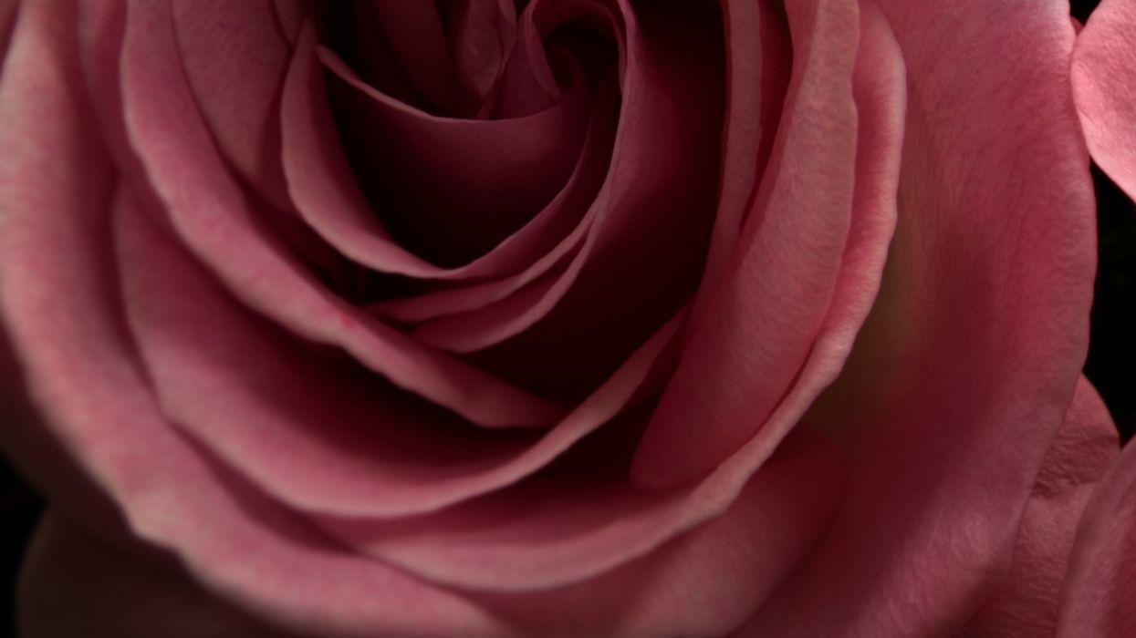 nature red macro roses wallpaper