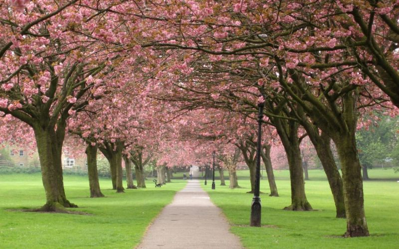 cherry blossoms flowers paths wallpaper
