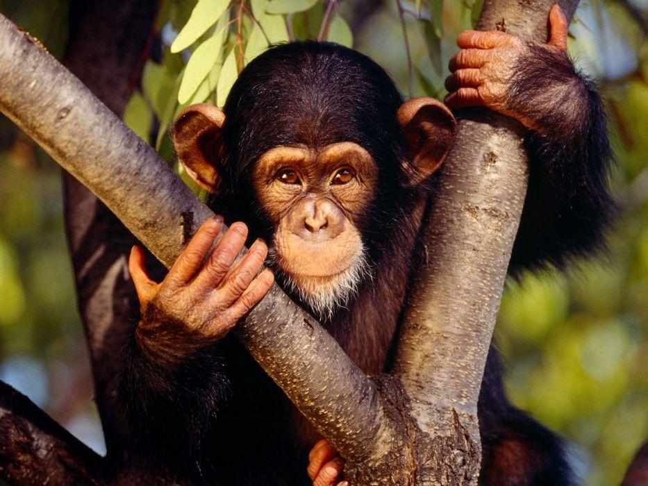 nature animals monkeys primates wallpaper