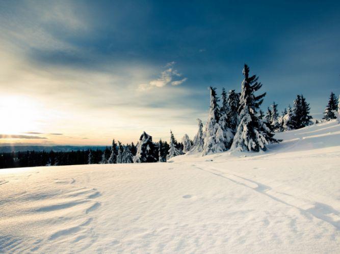 snow fir bright wallpaper