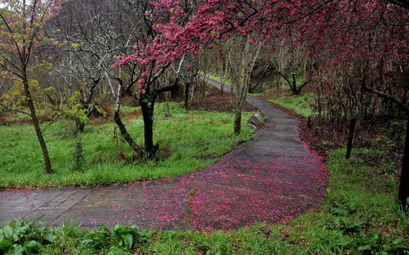 cherry blossoms paths wallpaper