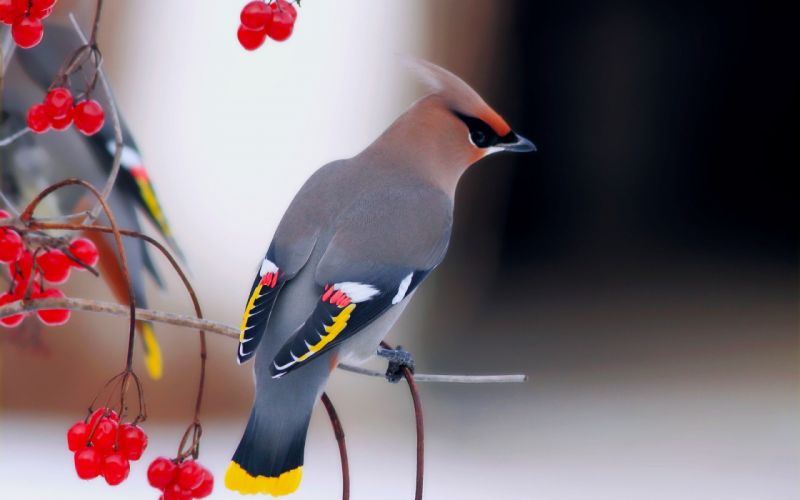 red birds depth of field berries waxwing wallpaper