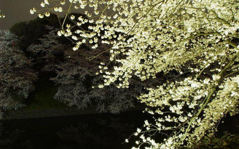 Japan cherry blossoms flowers Sakura spring flowered trees wallpaper