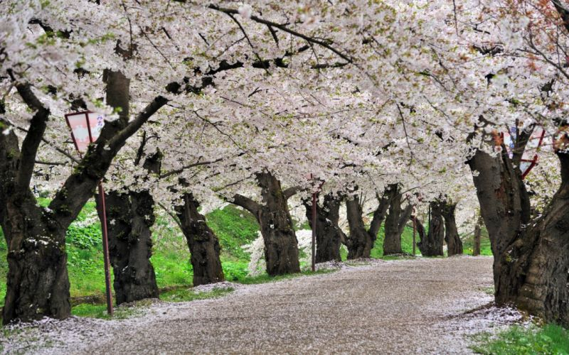 cherry blossoms trees paths wallpaper