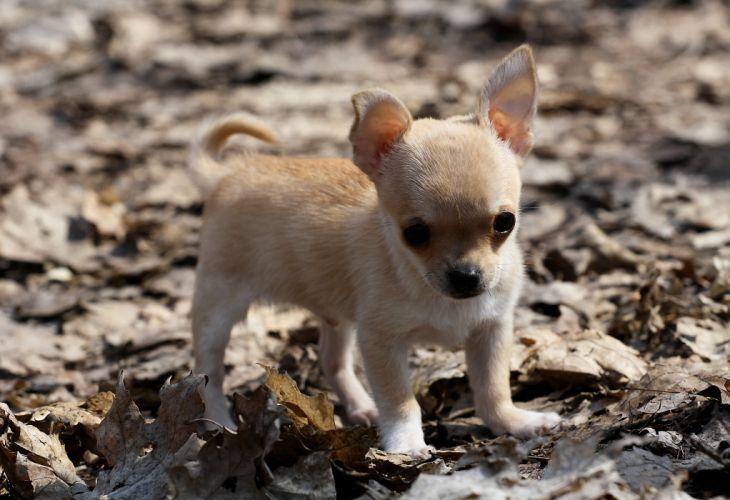 baby dog puppy chihuahua wallpaper