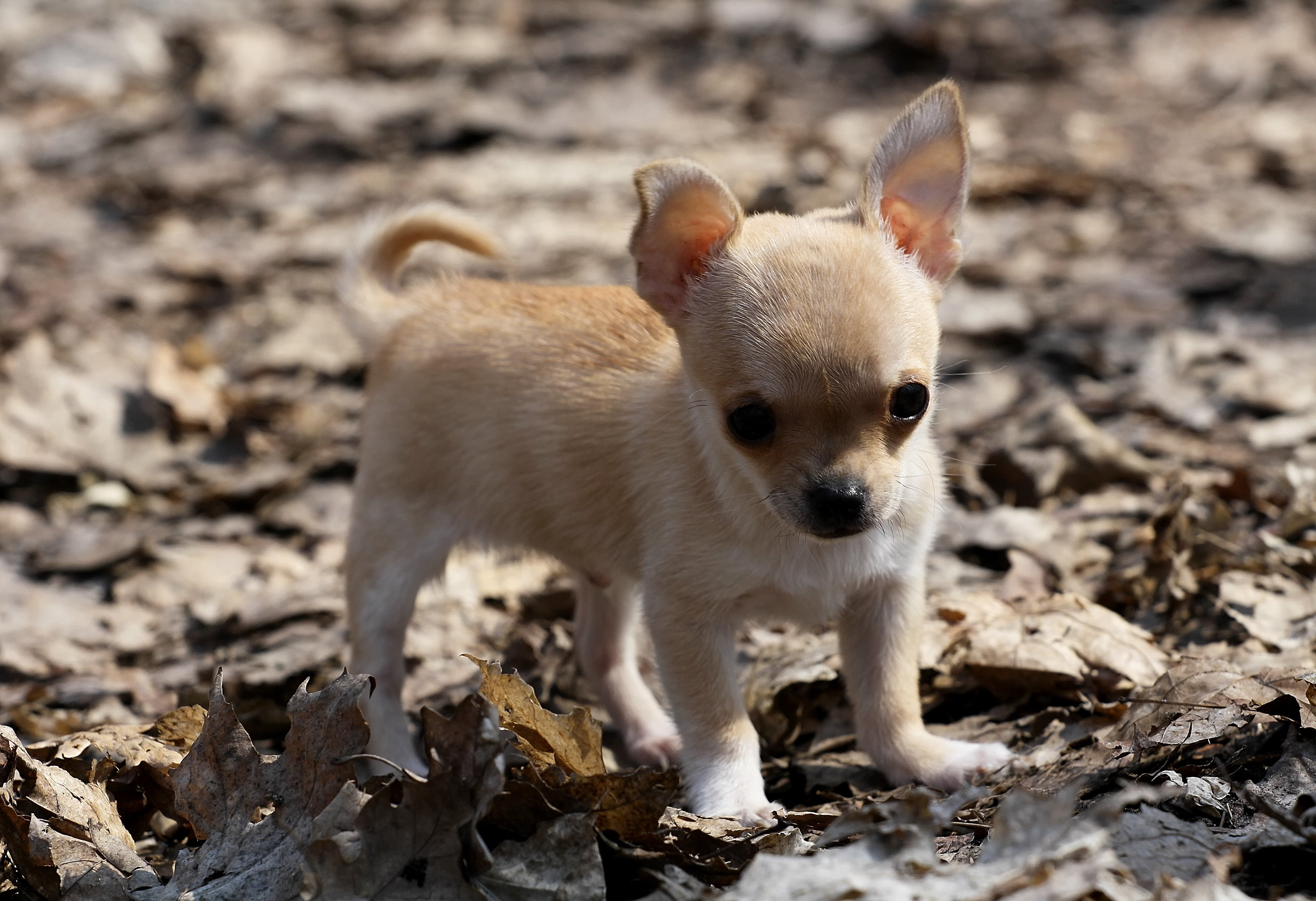 dog chihuahua background - photo #16