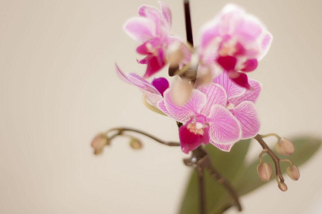 branch orchids flowers petals pink macro bokeh wallpaper