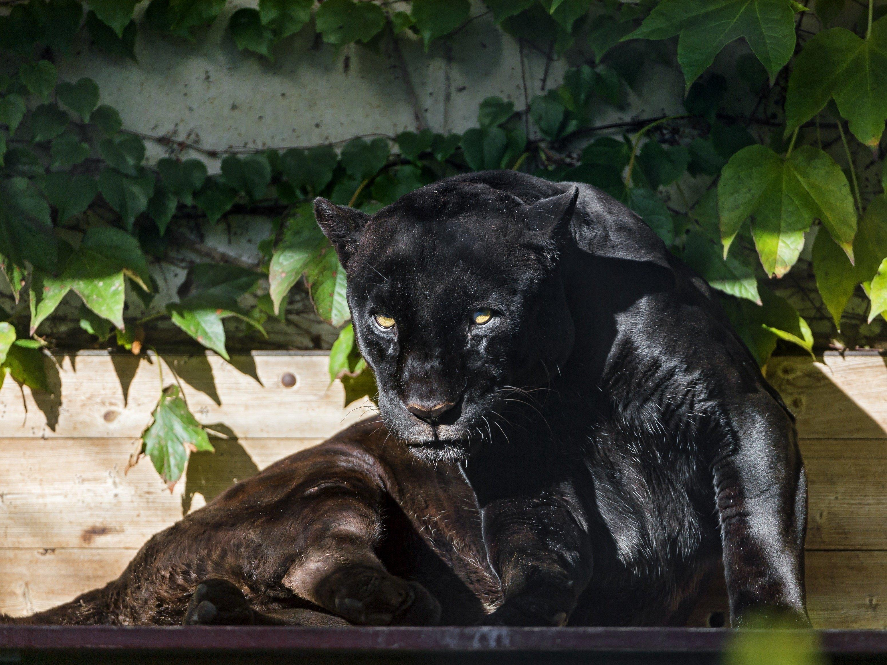 Black jaguar jaguar panther wild cat predator foliage sun ...