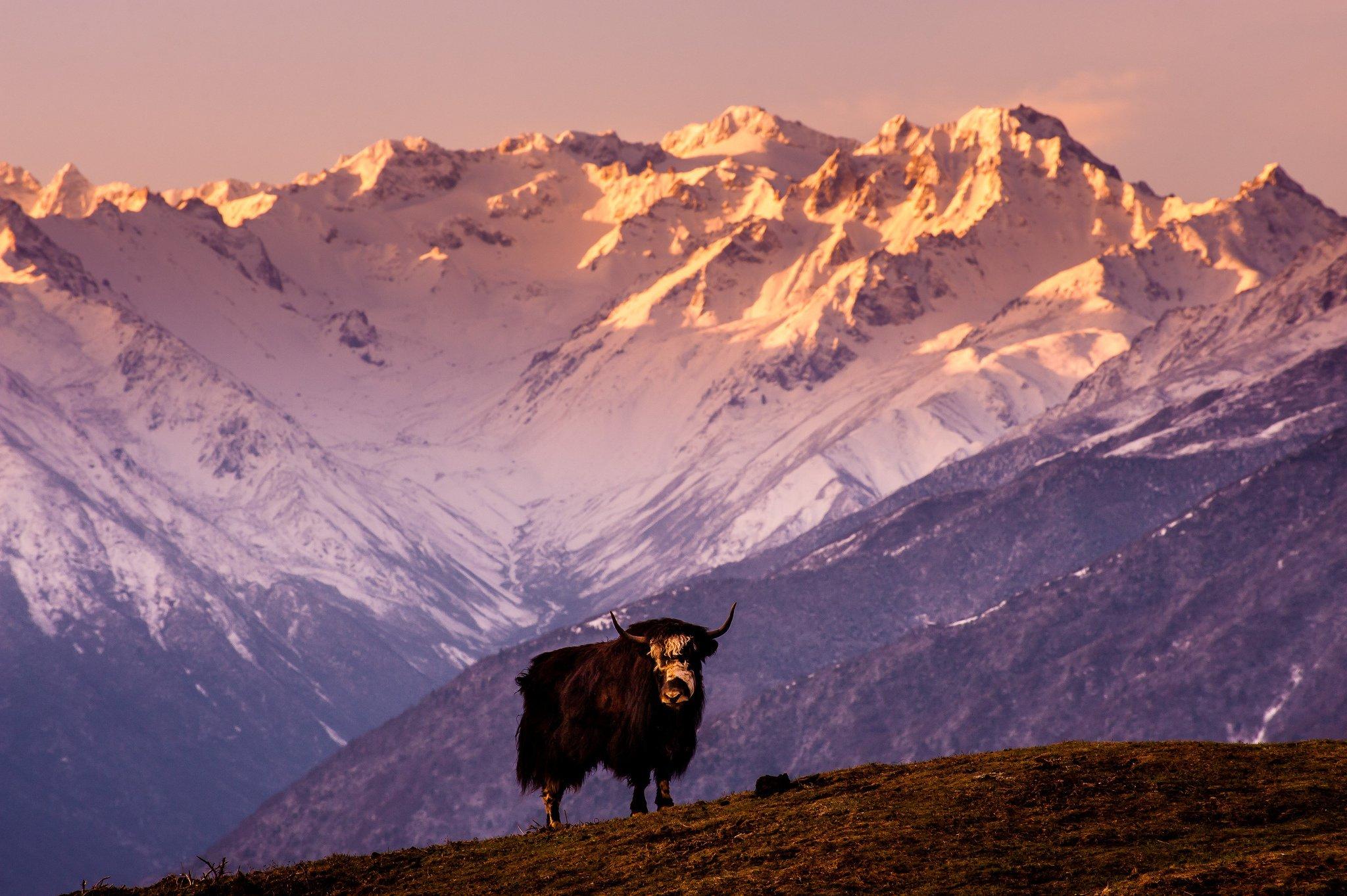 china tibet mountain cow bull yak wallpaper | 2048x1363 | 309668