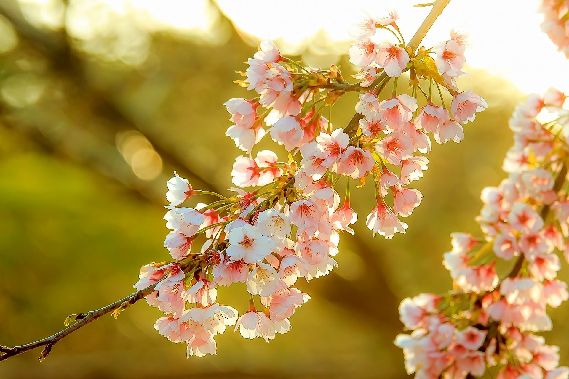 cherry trees in bloom wallpaper