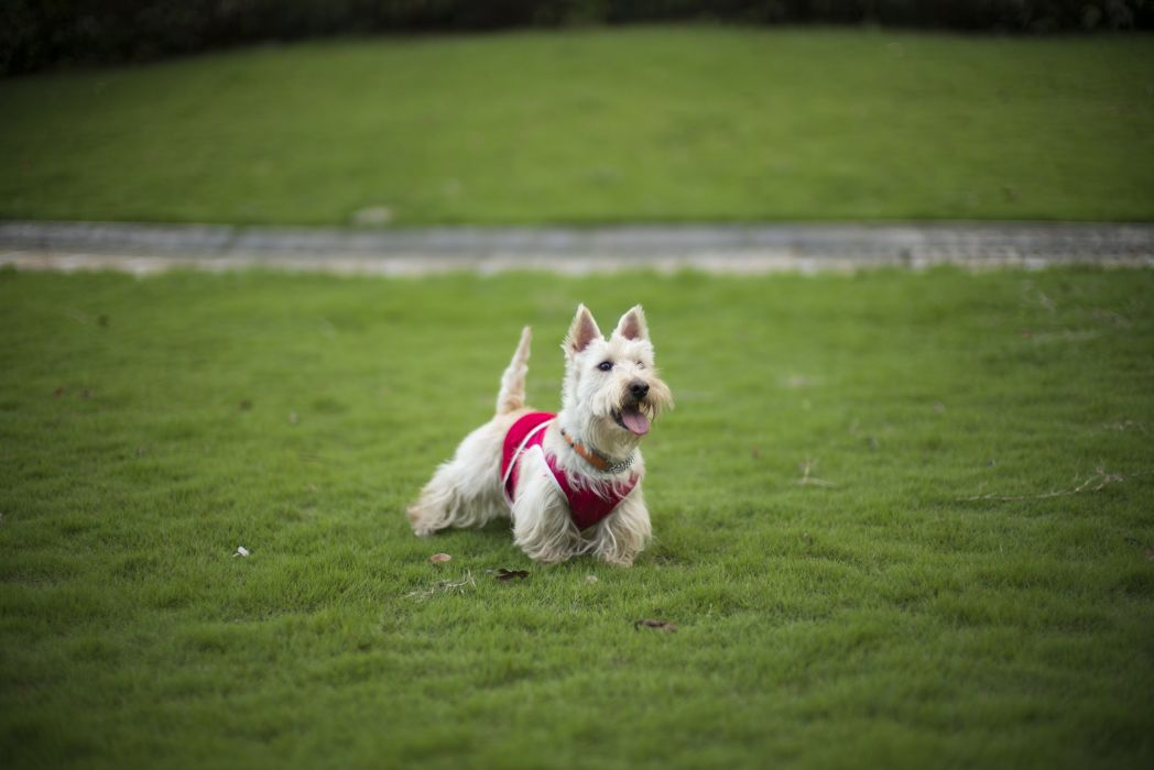 dog lawn grass one terrier wallpaper