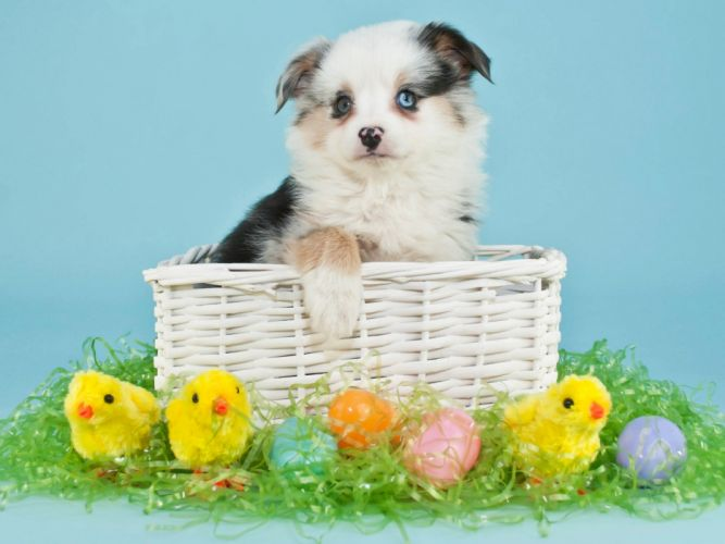 Dogs Holidays Easter Chickens Puppy Wicker basket Eggs Animals wallpaper
