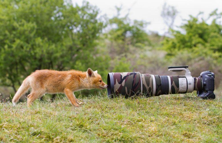 fox nature lisenok animal camera funny f wallpaper