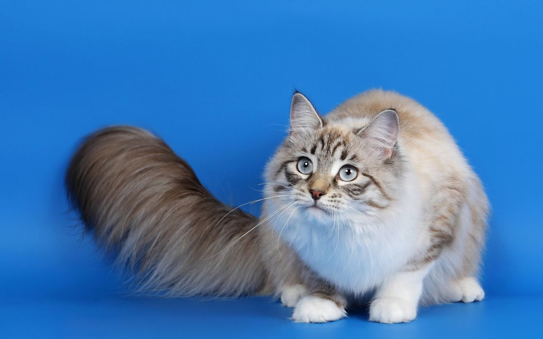 fur cat look wallpaper