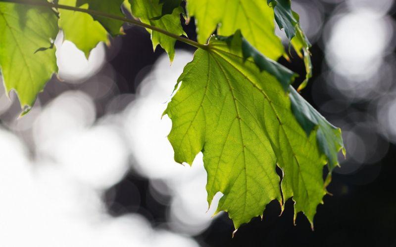 leaf green macro leaves wallpaper
