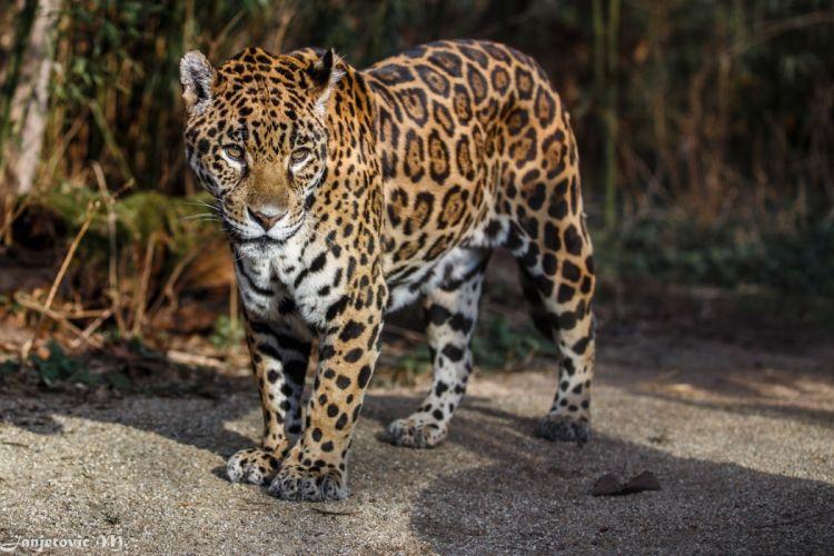 look jaguar wild cat predator spots wallpaper