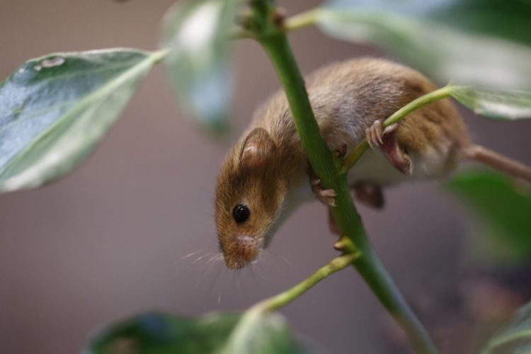 mouse leaves vole plant branch g wallpaper