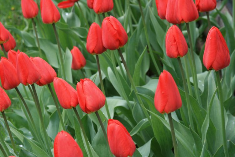 nature flowers tulips spring wallpaper