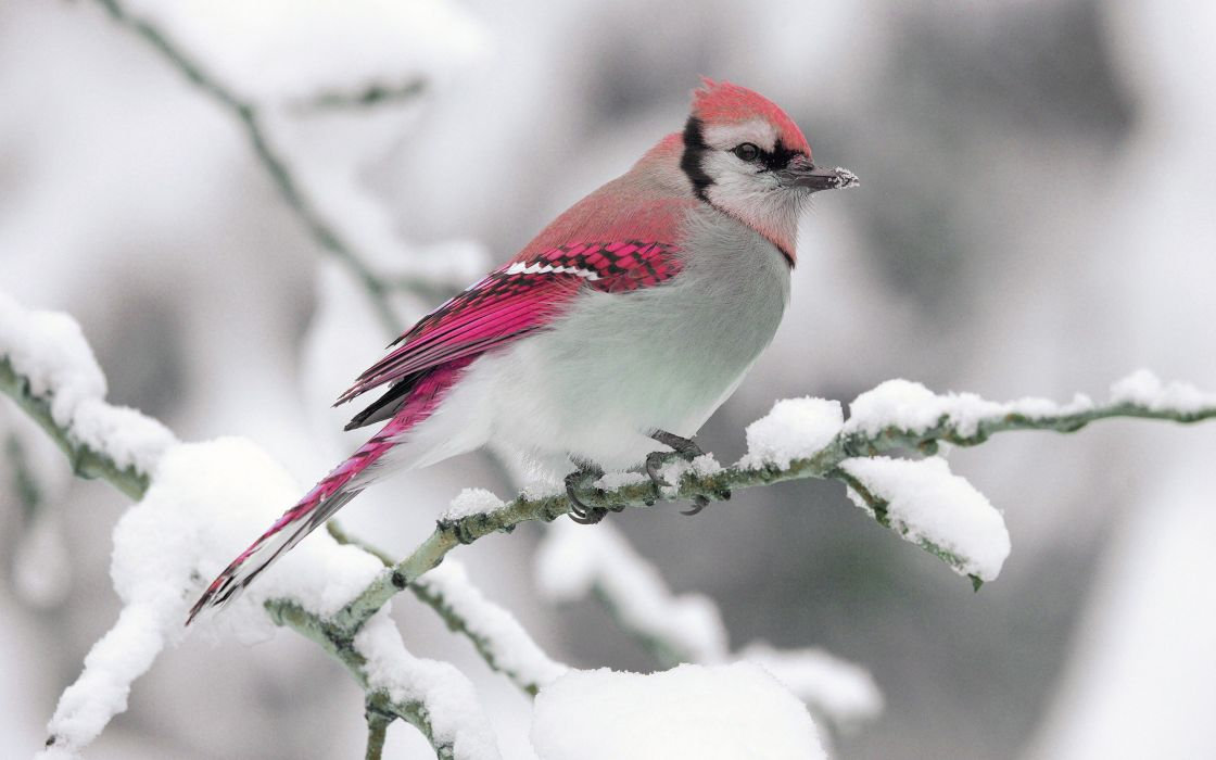 nature winter bird snow branch wallpaper