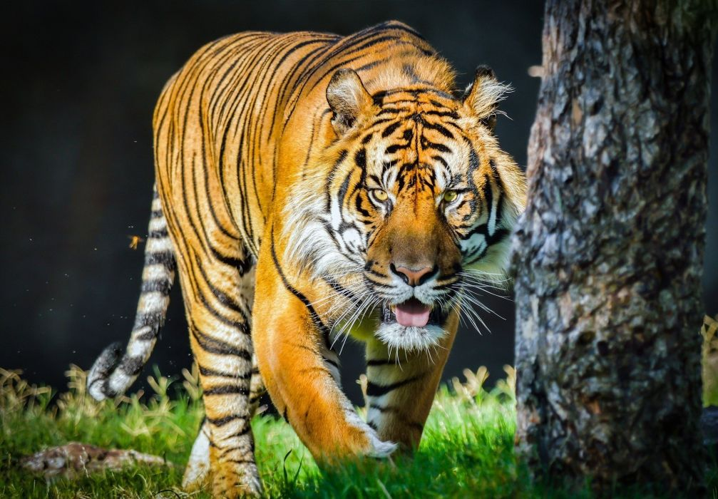orange tiger wild cat predator face tongue wallpaper