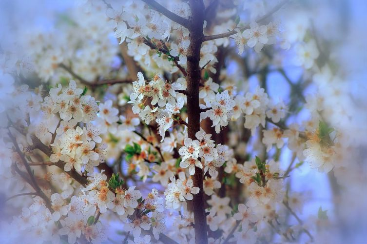 soft spring nature flowers blossom branch beauty wallpaper