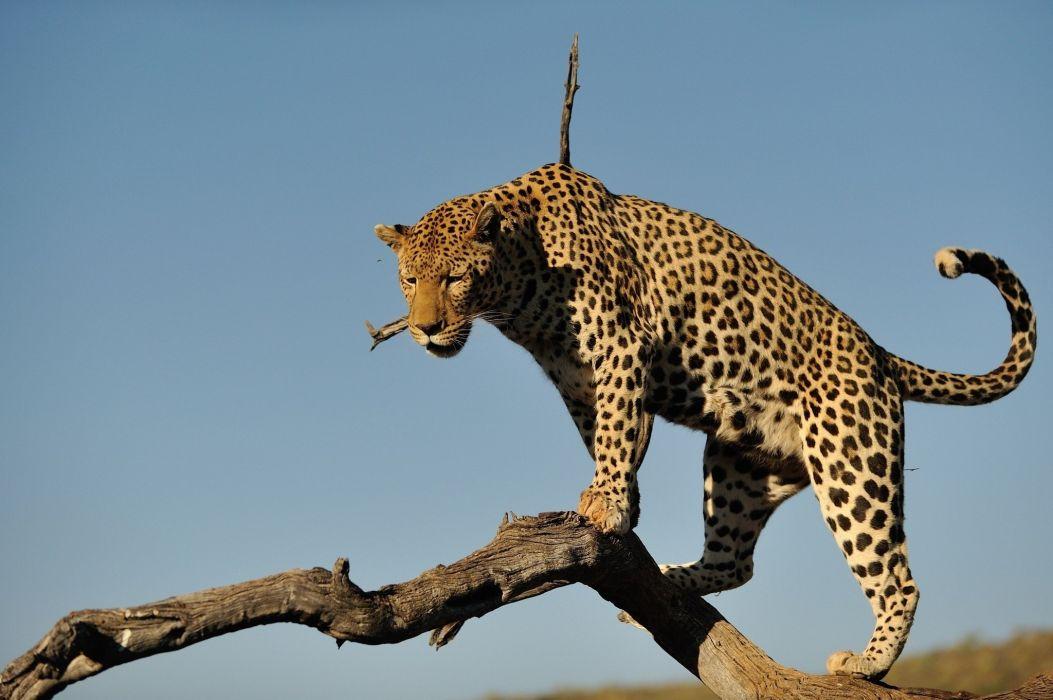 spots leopard wild cat predator log sky wallpaper