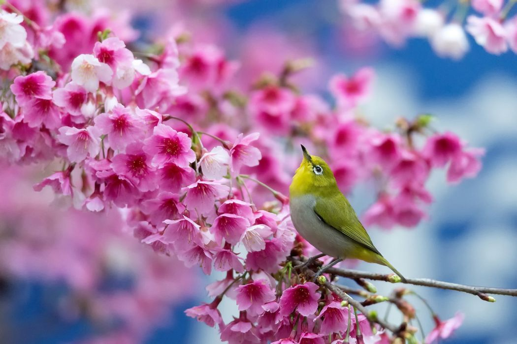 spring cherry branch flowers beauty Japanese blossom bird flower wallpaper