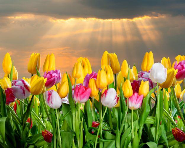 Tulips Many Flowers wallpaper