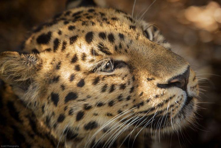 whiskers leopard wild cat predator muzzle wallpaper