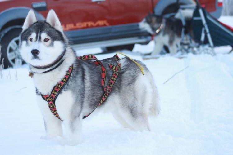 winter husky dog wallpaper