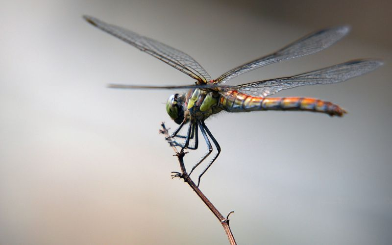 animals dragonfly wallpaper