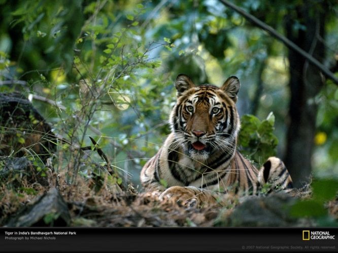 tigers National Geographic wallpaper