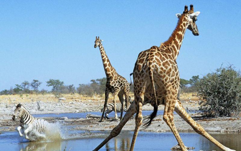 animals hole zebras Namibia action National Park giraffes wallpaper