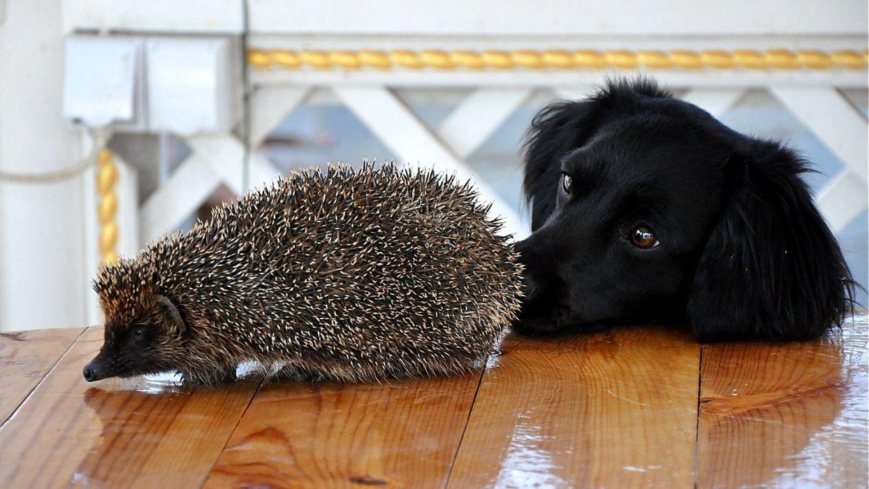 black animals dogs hedgehogs wallpaper
