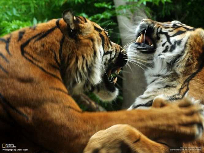 nature animals tigers National Geographic wallpaper