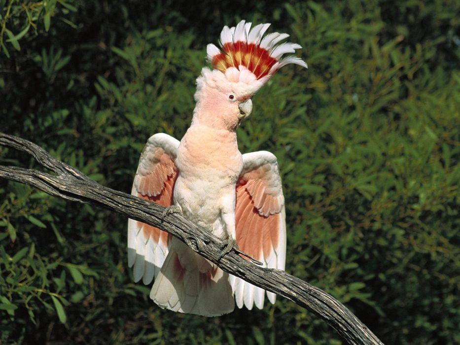 birds parrots Cockatoo wallpaper