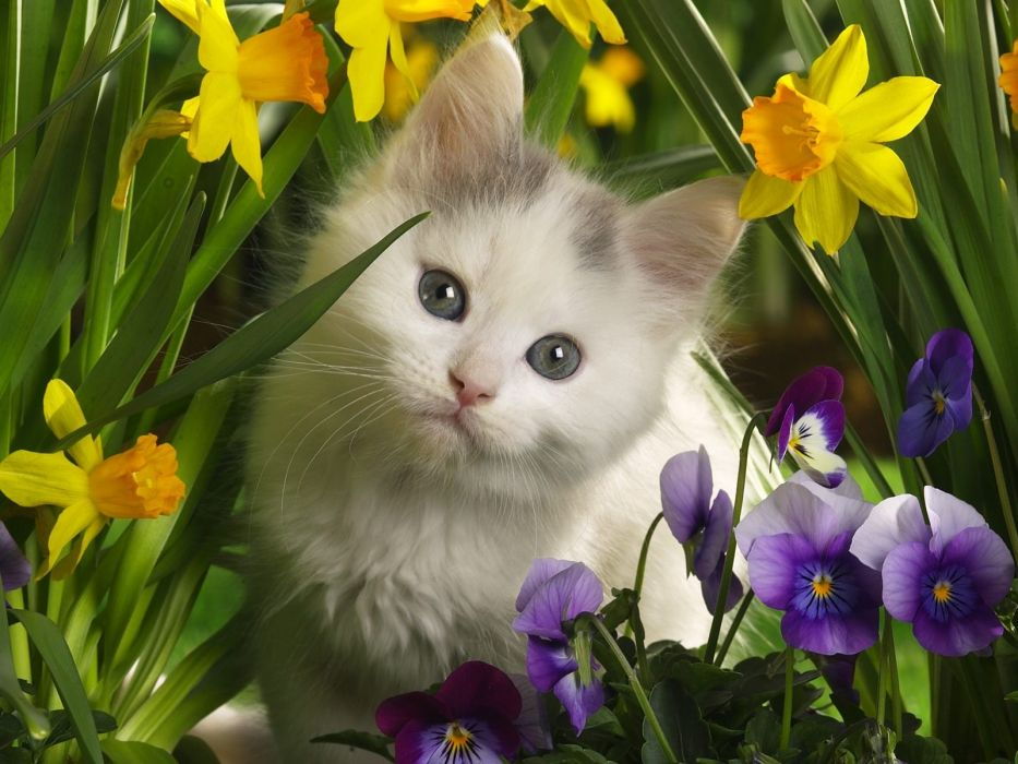 cats kittens daffodils pansies baby animals wallpaper