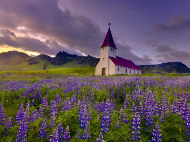 landscapes nature flowers Iceland chapel purple flowers Lupine wallpaper