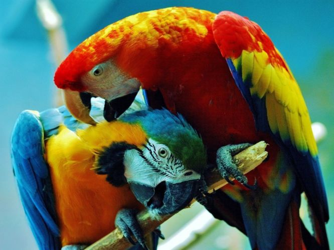 birds parrots Costa Rica Scarlet Macaws Blue-and-yellow Macaws wallpaper