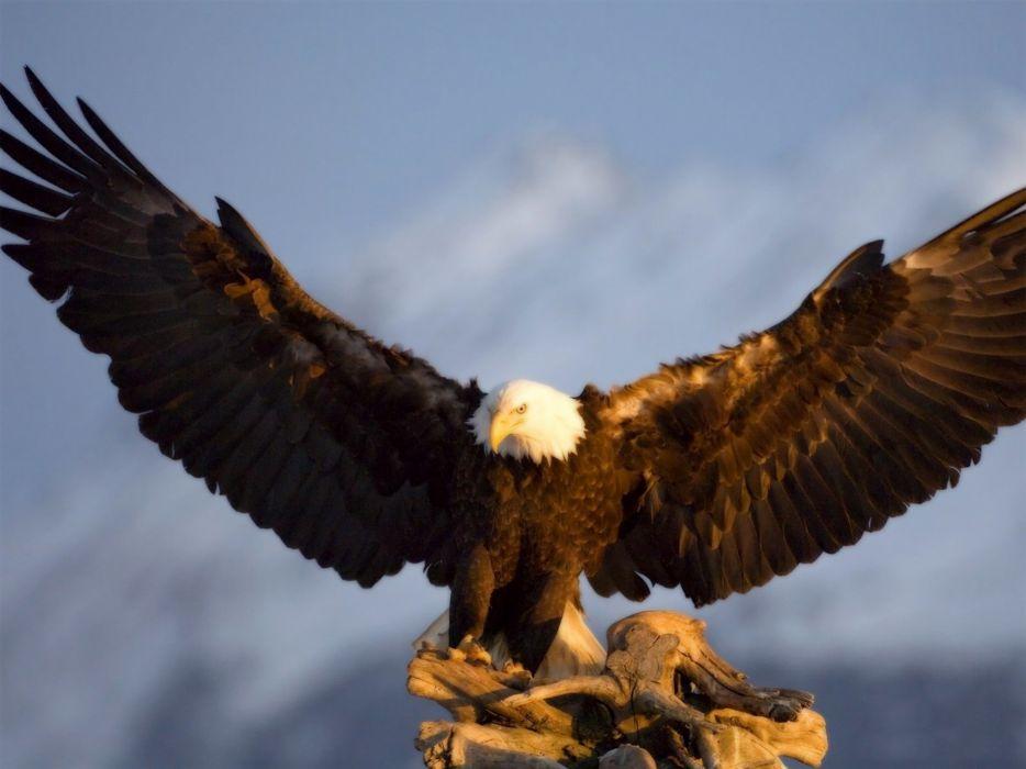 nature birds animals bald eagles wallpaper