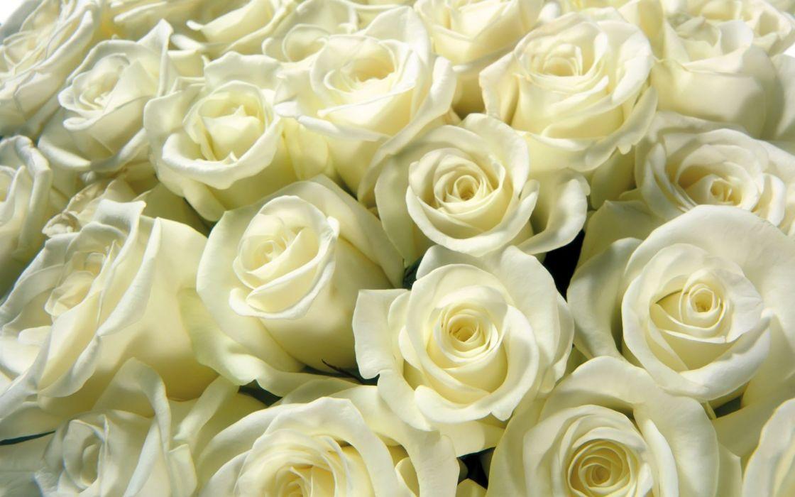 flowers white roses roses wallpaper