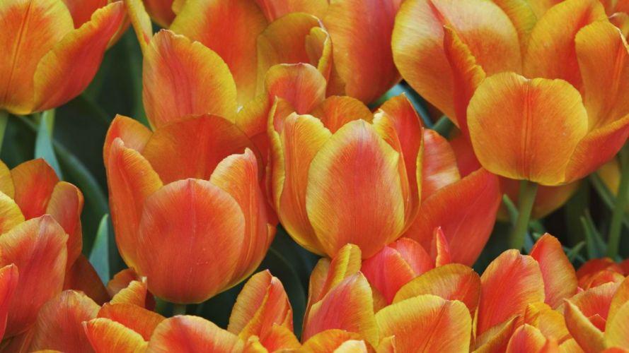 tulips monarch wallpaper