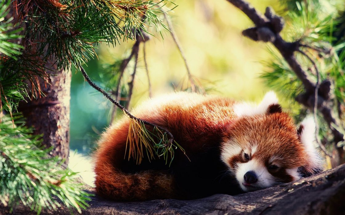 animals red pandas wallpaper