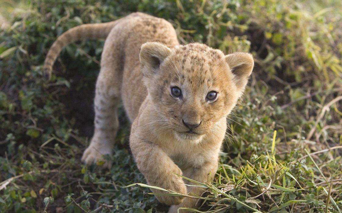 animals mara African lions Kenya baby animals wallpaper