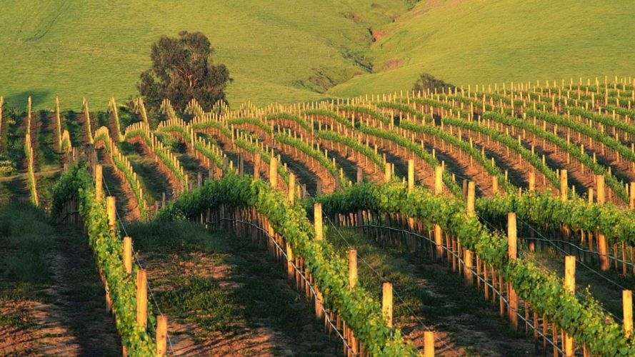 sunset California vineyard wallpaper
