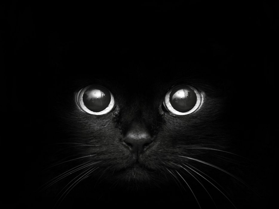 black cats animals pets wallpaper