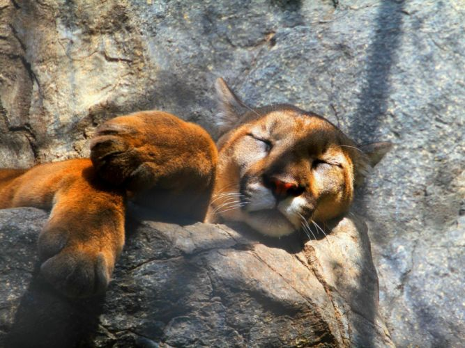 animals sleeping lions paw wallpaper