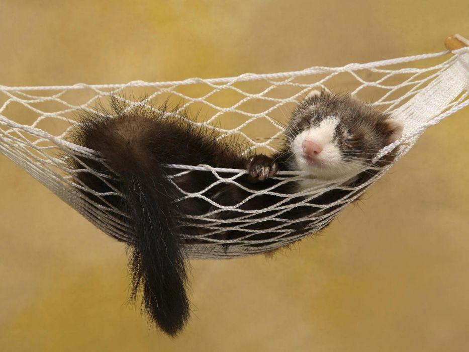 animals funny hammock ferret wallpaper
