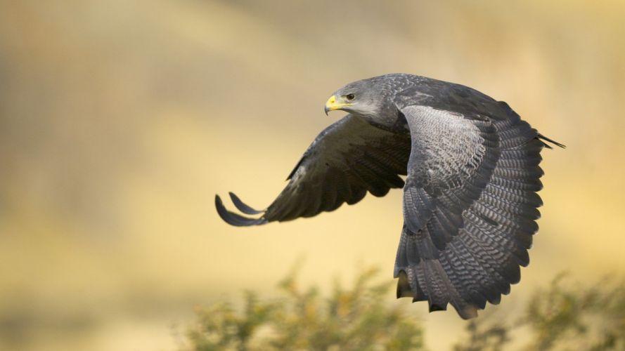 black birds Argentina eagles wallpaper