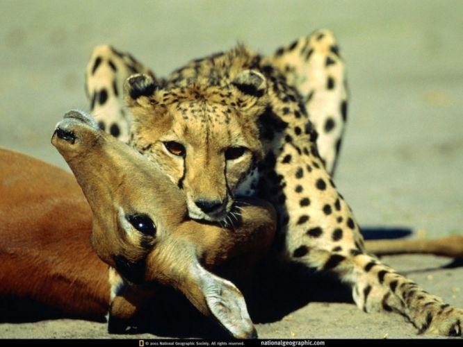 animals National Geographic cheetahs wallpaper